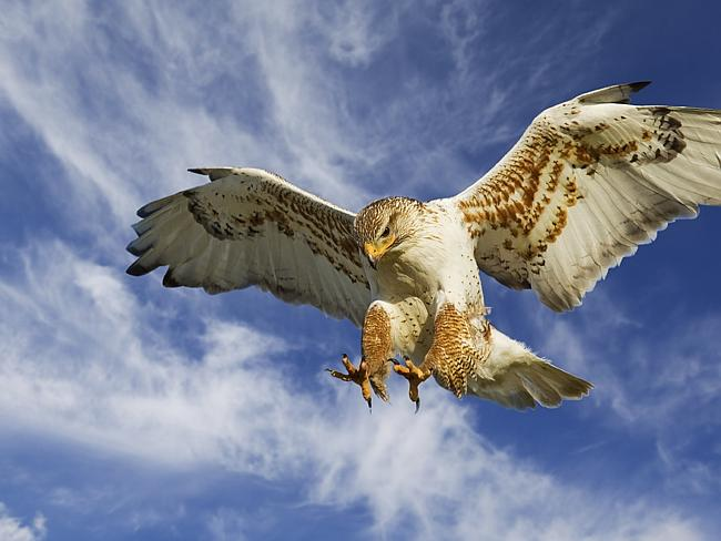 High security ... a specially-trained hawk will protect the Pope's doves in the sky.