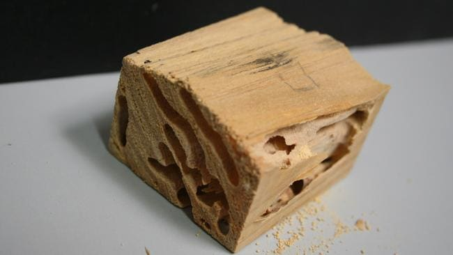 The European house borer can cause structural damage, as pictured here.