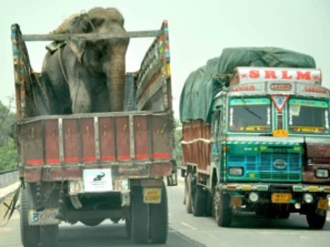 On his way ... rescuers eventually enticed Raju onto a rescue truck. Picture: Wildlife SOS India