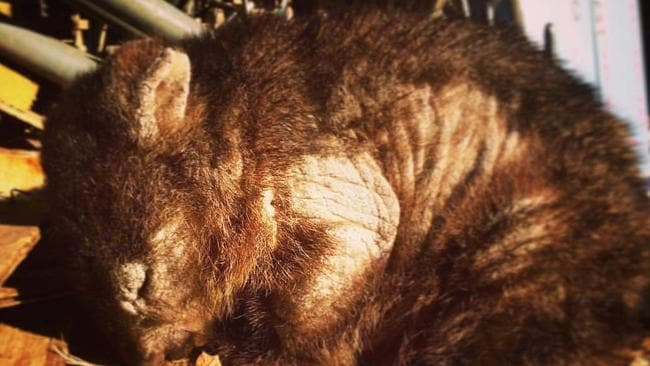 An outbreak of sarcoptic mange in the Narawntapu National Park has killed all but a handful of the area's wombats.