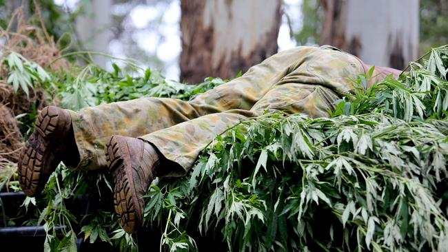 NSW Drug Squad Detective Senior Sergeant Alex Dipple removes some cannabis plants from a commune / Picture: Nathan Edwards