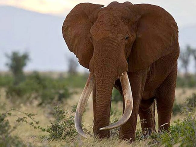 "'Goodbye old friend' ... Satao,one of the last surviving ""great tuskers"", had brightened the lives of thousands of wildlife spotters and safari tourists. Picture: Richard Moller/Tsavo Trust."