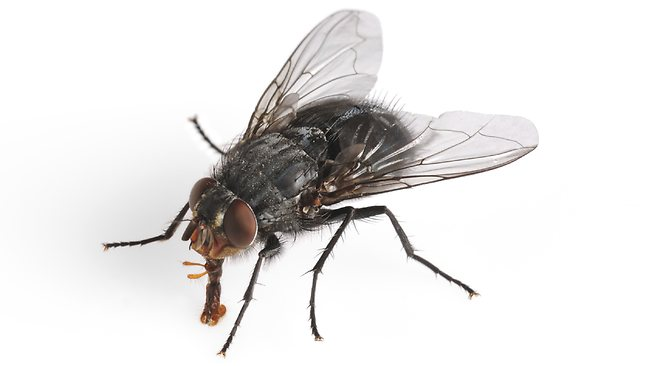 Zombie apocalypse superweapon: The common housefly.
