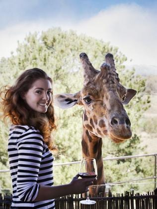 Having a wine and feeding a giraffe — what fun.