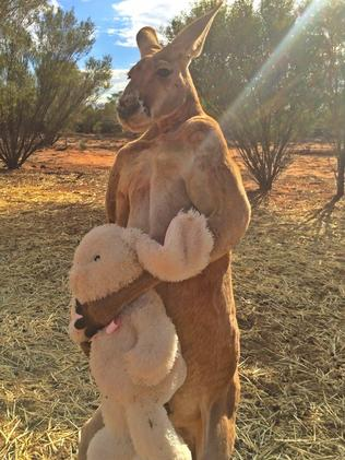 Roger, a male red kangaroo, hugs a bunny he received as an Easter gift from a fan English fan.