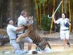 Zoo staff move in to assist as tiger handler Dave Styles is attacked by 114kg Sumatran-Bengal tiger Charlie at Australia Zoo's tiger enclosure. Pic: Channel 7