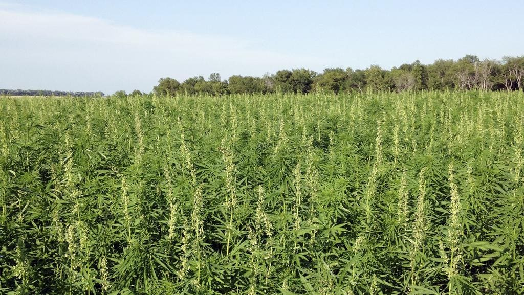 Geelong is poised to become a hemp hub in Victoria.