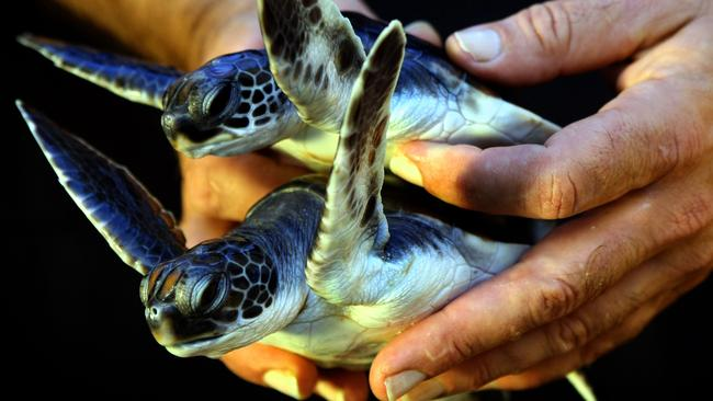 These baby green sea turtles await release back into the wild by carers at the Australian Seabird Rescue centre in Ballina, NSW.