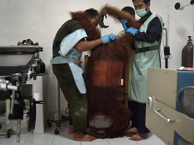 Exam room ... the Orangutan Information Center has cared for over 280 orangutans rescued from palm oil plantations, poachers and pet owners and over 200 have been reintroduced in the wilds. Picture: Sutanda Aditya
