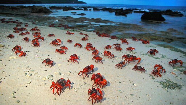 The annual red crab migration on Christmas Island, off the west coast of Australia, which David Attenborough has described as one of the most spectacular wildlife events on the planet. Picture: Justin Gilligan