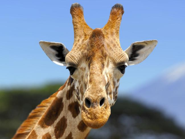 Giraffes are headed to extinction