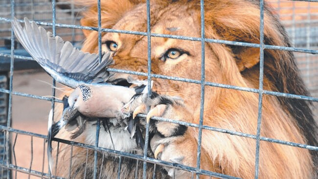 LUCKY CHANCE: The pidgeon's about to break free as the lion tries to adjust its grip to bring bird inside the enclosure. Picture: David Gartland
