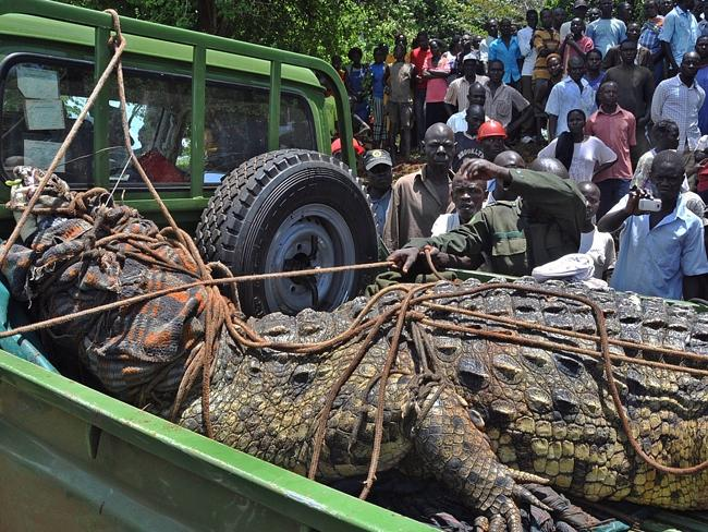 Frightening ... a one-tonne crocodile suspected of eating four people in Uganda has been captured. Picture: AFP