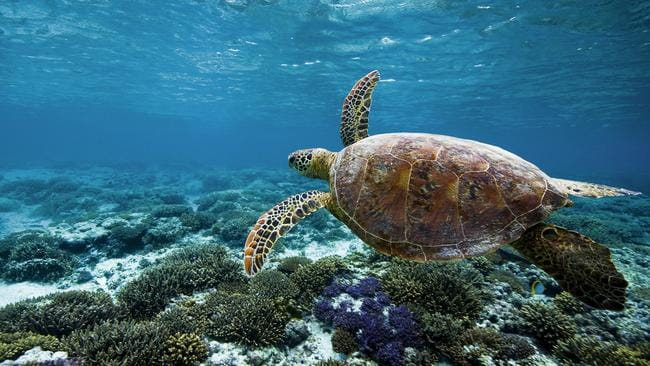 Sights like this turtle make the reef a magnet for wildlife filmmakers. Picture: Tourism and Events Queensland