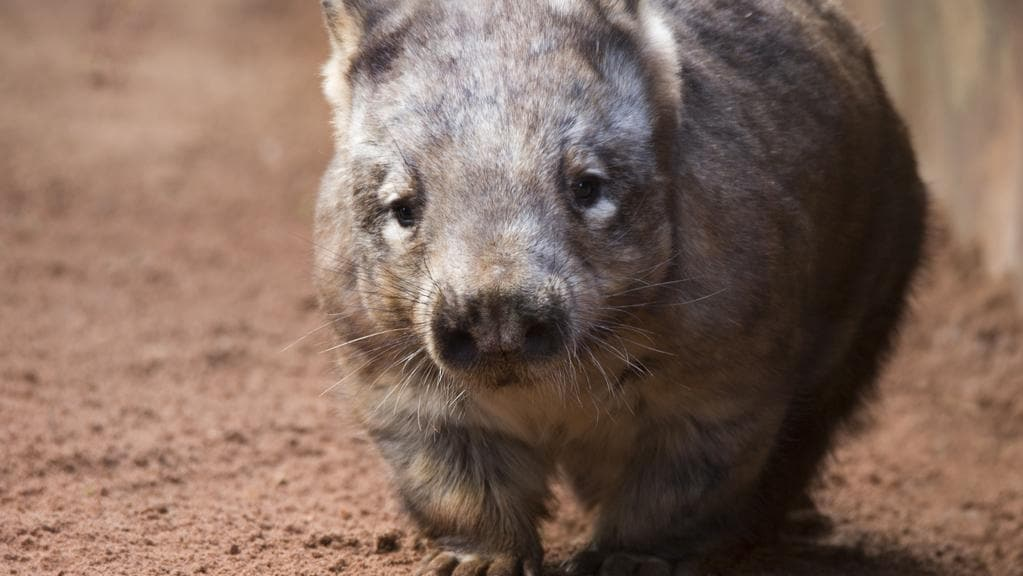 Wombats Kangaroos Top List As Most Hit Animals On