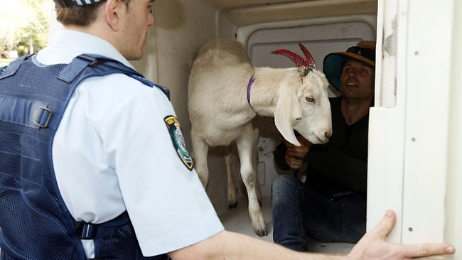 Jimbo and Gary the goat snare a lift in a paddy wagon to transport them to North Sydney. Picture: John Grainger