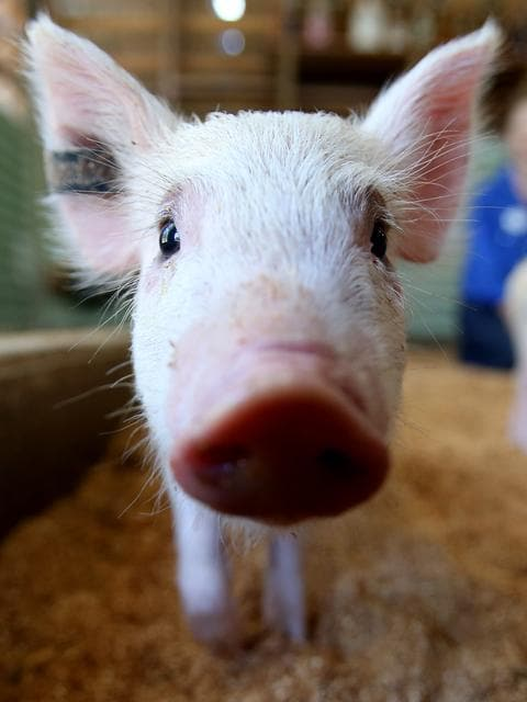 CUDDLE TIME: Pat a miniature pig at Paradise Country.
