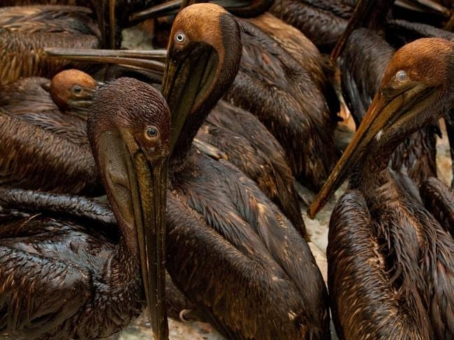 Ecological damage ... pelicans covered in brown oil were found off the Louisiana coast due to the BP Deepwater Horizon oil spill in the Gulf of Mexico in 2010. Picture: AFP