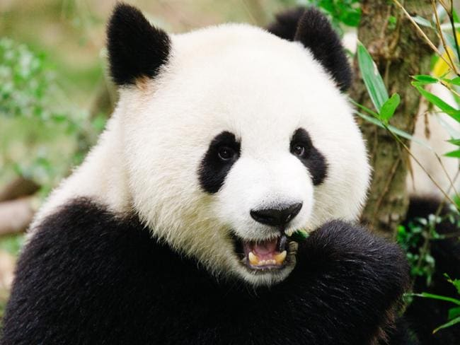 A giant panda at the breeding and research base, which is easy to access from Chengdu and very tourist friendly. Picture: Getty Images