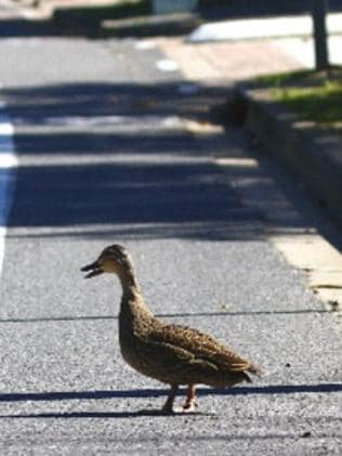 Look both ways: a duck attempts to cross a suburban road.