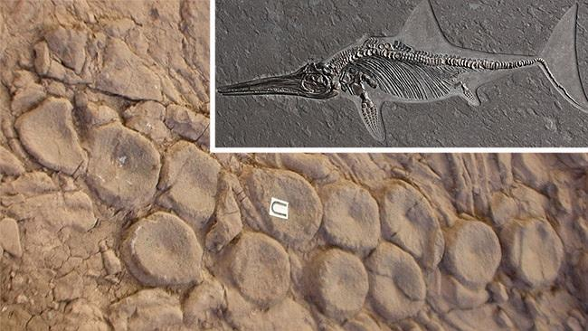 Vertebrae from ichthyosaurs arranged in a pattern by a sea monster. Picture: Mark McMenamin. Inset: An ichthyosaur fossil.