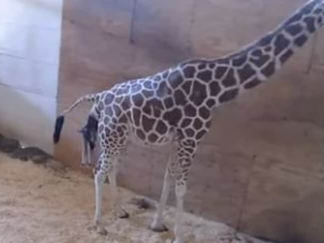 April the giraffe gives birth in New York in front of 1.2 million people watching. Picture: YouTube