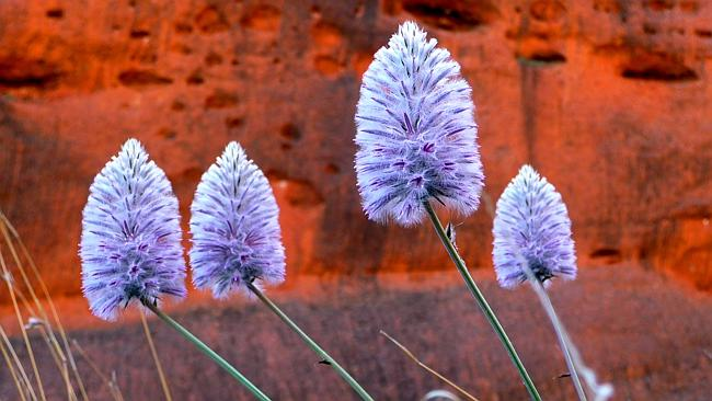 Desert wildflowers at The Olgas. Picture: Roderick Eime