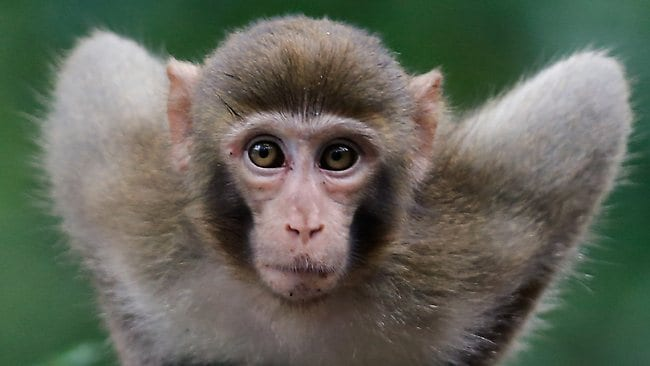 A male macaque had been terrorising the people of Hyuga in the far south of the Japan since late last month, and was blamed for 18 attacks.