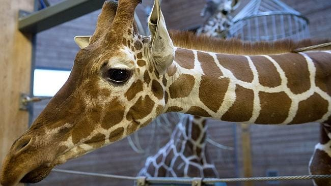 Animal lovers protest ... after a perfectly healthy young giraffe named Marius was shot dead and autopsied in the presence of...