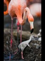 A flamingo mum appears to help the chick back into the nest. This fluffy flamingo chick knows he will be in trouble with mum after getting his spotlessly clean feathers covered in mud. At just two weeks old, he's taking his first steps out of the nest and has to be careful not to get lost among the 80,000 strong colony of birds. Picture: Solent