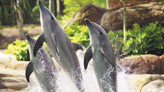Dolphins perform in the marine stadium at Sea World on the Gold Coast.