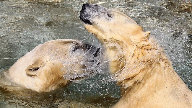 COLD SHOWER?: Keepers are hopeful SeaWorld's polar bears Liya and Hudson will breed. Picture: Kit De Guymer