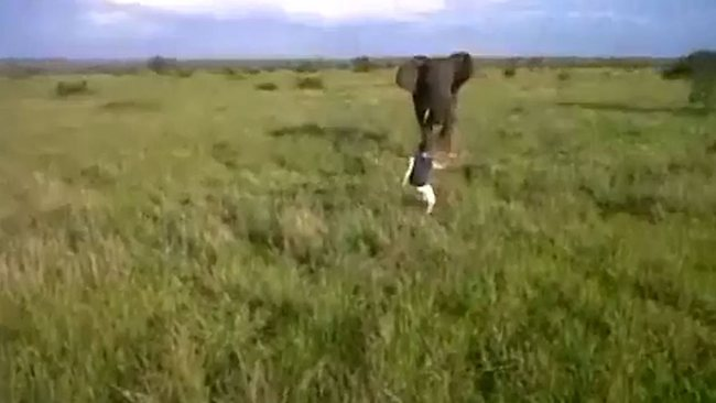 Drunk man charges wild elephant