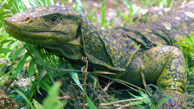 In 2010, scientists discovered a previously unknown species of fruit-eating lizard as big as a full-grown man. Picture: AFP