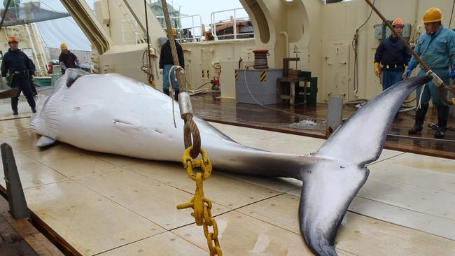 A minke whale on the deck of a whaling ship in the Antarctic Ocean.