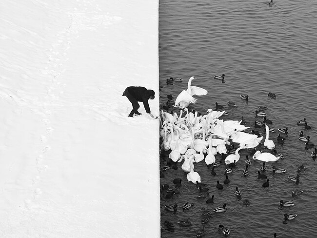 Swans and snow