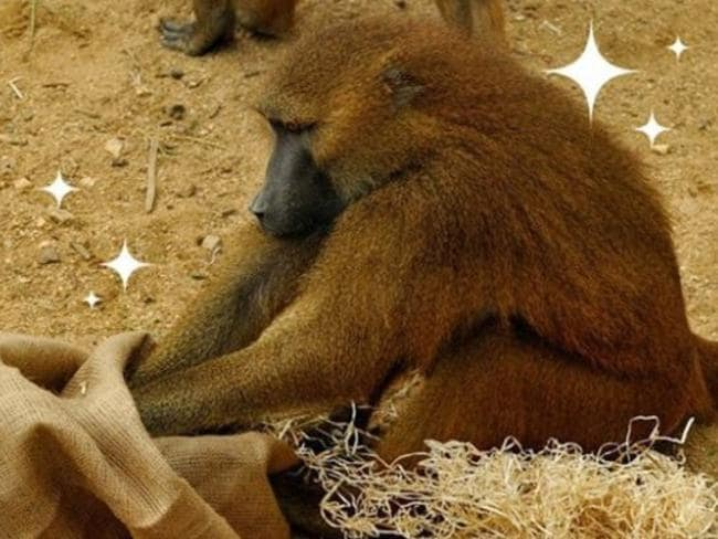 Baboon in the Paris zoo, which sources say can turn aggressive. Picture: Instagram