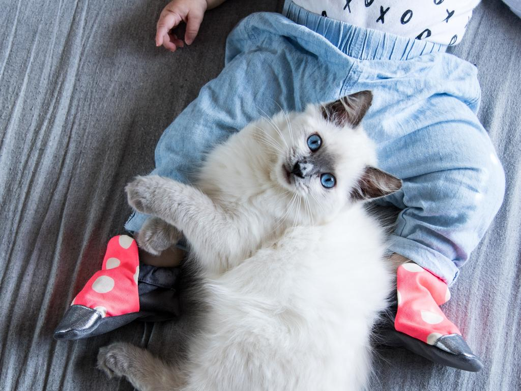 IGGY: Iggy is a rescued seal point ragdoll who now follows his new family everywhere and showers his older sister Holland with love.
