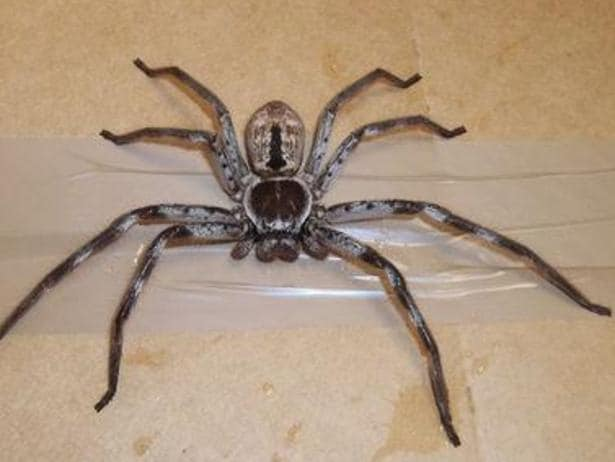 This 18cm huntsman spider was discovered in Surrey. Picture: RSPCA