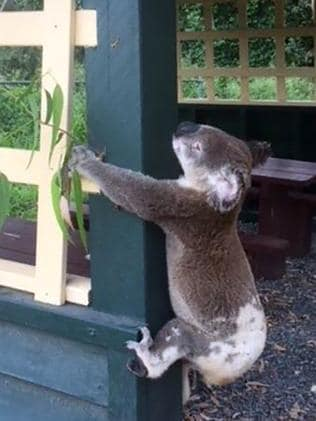 The image of the dead koala nailed to a shelter at Brooloo Park Lookout shocked readers and the RSPCA.