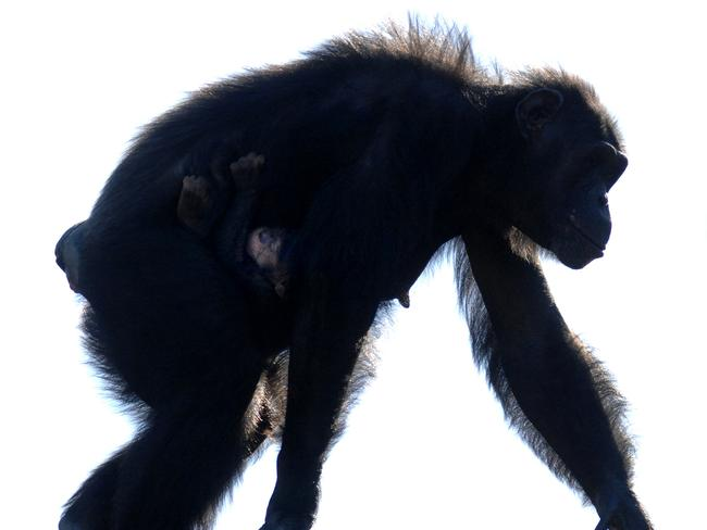 Our primate cousins ... (a chimpanzee, pictured) ... scientists believe HIV jumped from primates to humans at least 13 times.