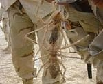 <p>These huge spiders were photographed by US troops in the Iraqi desert.</p>