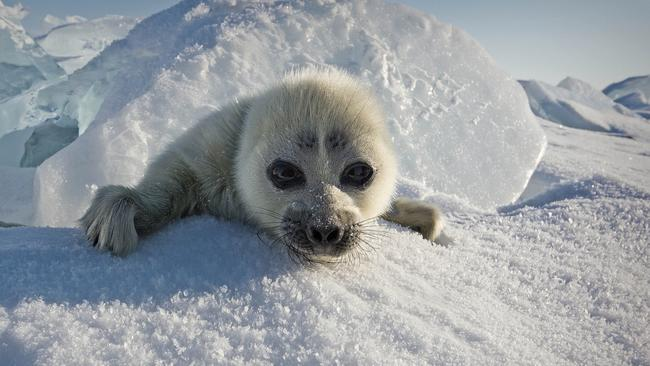 waving seal pup photo siberia rare picture took three years to get