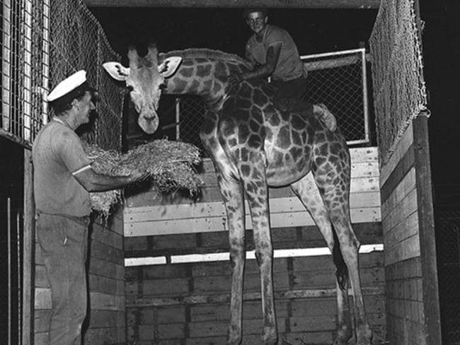 A giraffe is delivered to the Seal Park at the intersection of the Tanawha Tourist Drive and Cosby Hill Road, Buderim, in November 1970. Picture: Visit Sunshine Coast