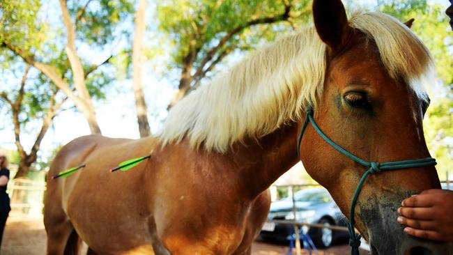 Much-loved mare Pearly died on Wednesday after arrows were fired into her flanks at Fannie Bay. Picture: Justin Kennedy