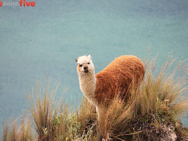 A curious llama that lives inside the Quilatoa volcanic crater lake, Ecuador.