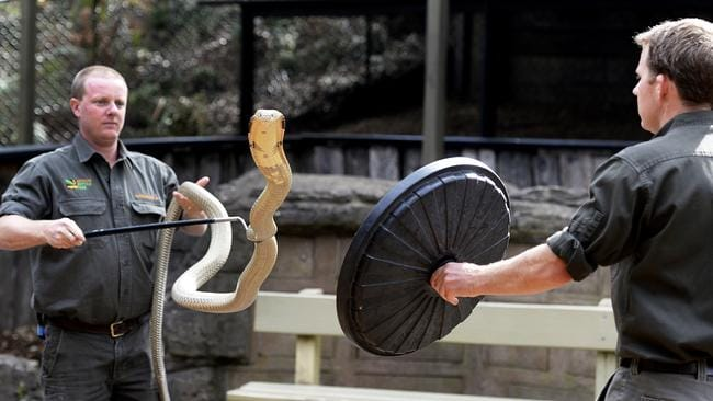 En garde! Brad Gabriel and Billy Collett with the impressive male King Cobra Aran at the Australian Reptile Park. Picture: Peter Clark