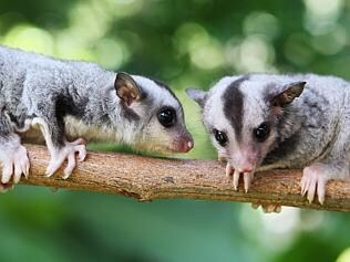 Squirrel gliders are endangered due to tree clearing. Picture Tom Lee