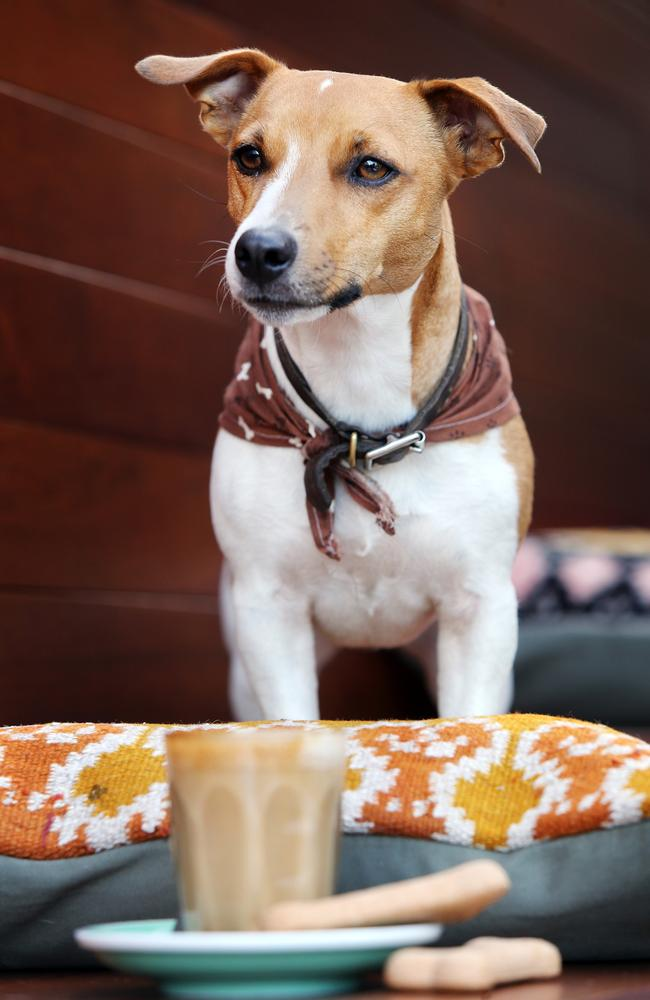 Pooches are being welcomed in more and more cafes. Picture: Tara Croser