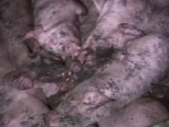 Lucent claims pigs are kept in crowded and filthy conditions. Picture: Lucent